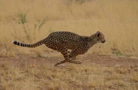 Course du guépard